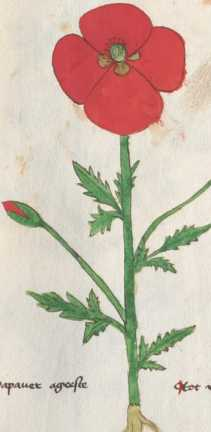 Illustration 139: Klatschmohn (234)