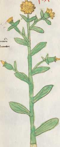 Illustration 187: Acker-Ringelblume / Körbchenblütler ... from